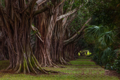Banyan Path