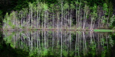 Birches on the Pond