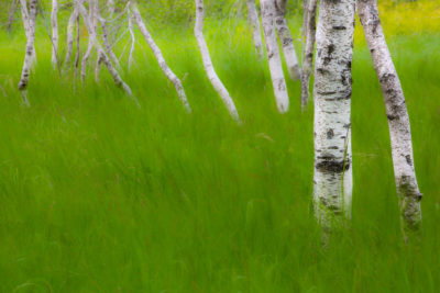 Birch in Grass
